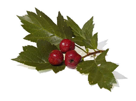 The Branch of hawthorn with red fruits is isolated photo