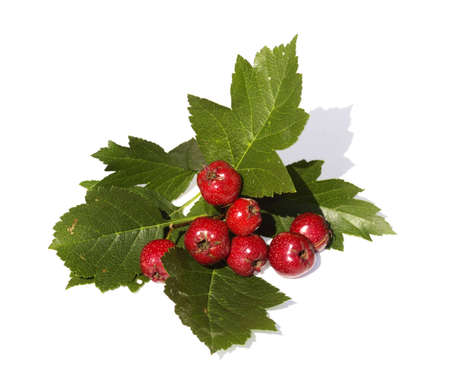 The Branch of hawthorn with red fruits is isolated