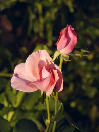 The Flower of rose and evening light