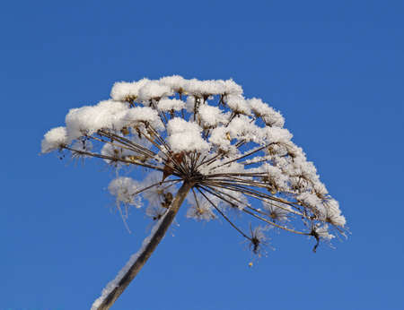 dried up: The dried up inflorescence of a wild plant covered with snow