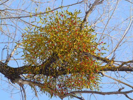 Branch mistletoe with red berries in the winter   Stock Photo