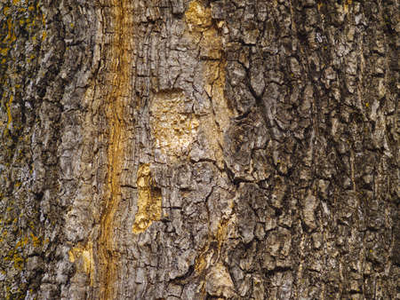 Background from a bark of an old maple