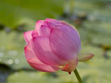 far east: Wild loto rosa - end�mica Lejano Oriente, Rusia