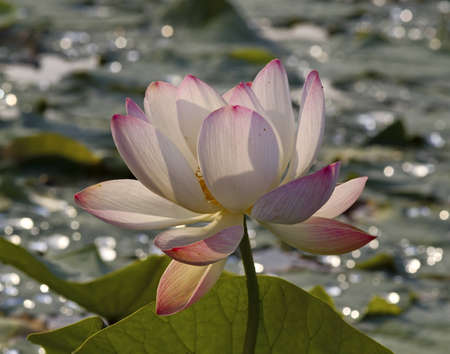 the far east: Wild pink lotus - endemic Far East, Russia