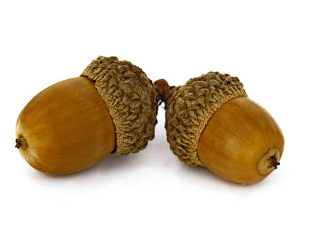 Two ripe acorns isolated on a white background