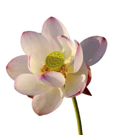 far east: Wild loto rosa - end�mico Lejano Oriente, Rusia