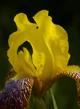 largely: Yellow iris against a dark background largely
