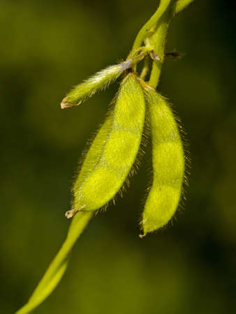 Seeds of soybeans in pods on a stalk Stock Photo