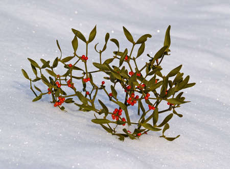 Branch of a mistletoe with red berries on snow
