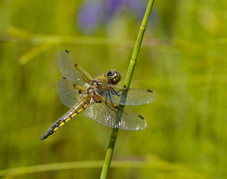 The large dragonfly sits on a green stalk of grass
