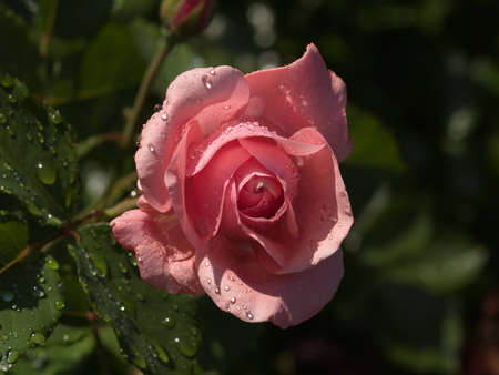 Pink rose after a rain against dark background Stock Photo