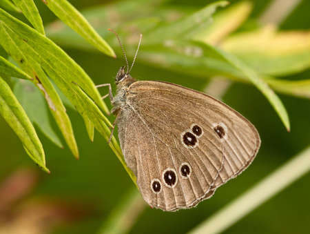 The gray butterfly sitting on grass sheet