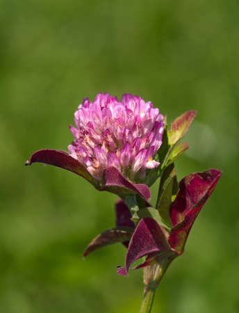 Flower of pink clover on a green background
