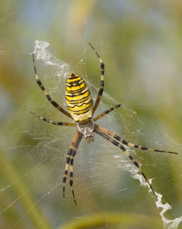 Large striped yellow spider on a white web Stock Photo