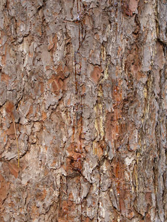 Natural background from a bark of Far East cedar