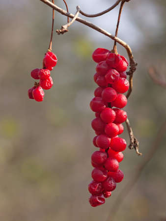Brush red ripe berries of taiga liana Schisandra chinensis photo