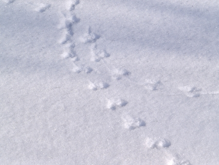 Trace of the wood mouse on snow