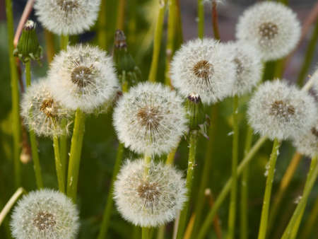 Natural background from dry colors of a dandelion