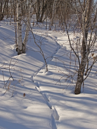 Animal trace in winter wood among birches