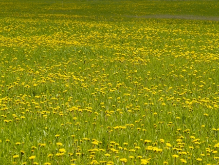 Natural background - a meadow of blossoming yellow dandelions photo