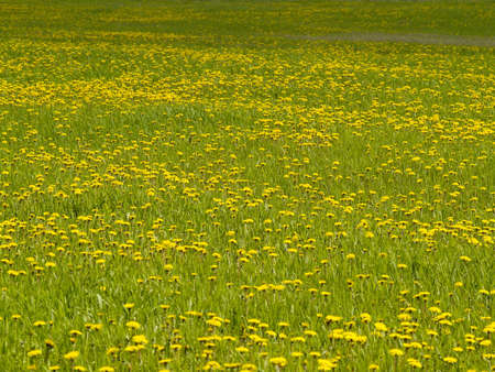 Natural background - a meadow of blossoming yellow dandelions