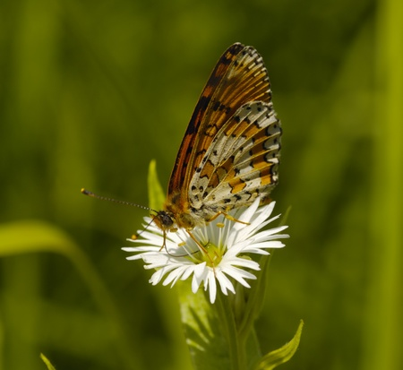 The motley brown butterfly sits on flower