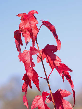 Branch of maple with red leaves on a blue background Stock Photo