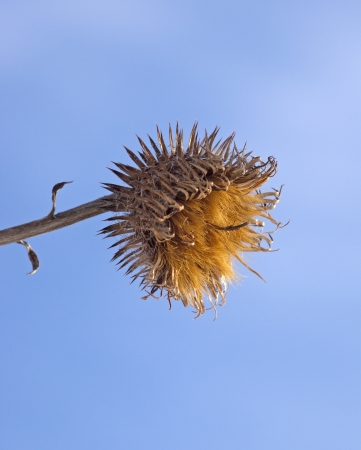 Dry prickly fruit of a burdock in the winter