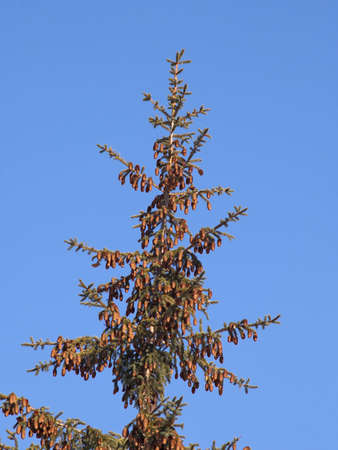 Top of a fur-tree with cones against the blue sky Stock Photo