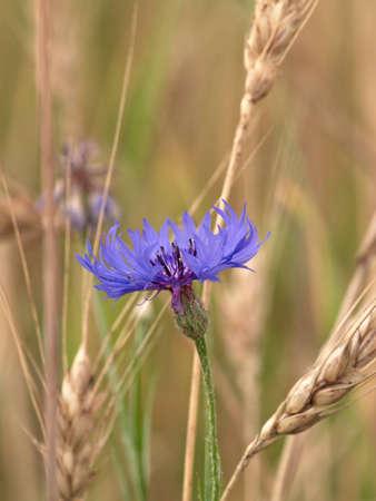 One blue a wild-growing meadow flower