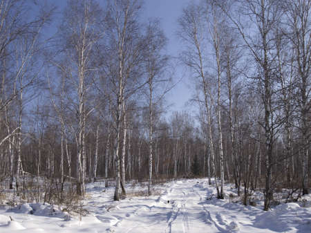 brink: Winter sunny day on the brink of birch wood
