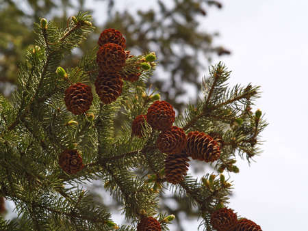 Top of a fur-tree with cones against the sky