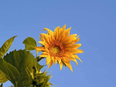 Yellow flower of sunflower against the blue sky Stock Photo