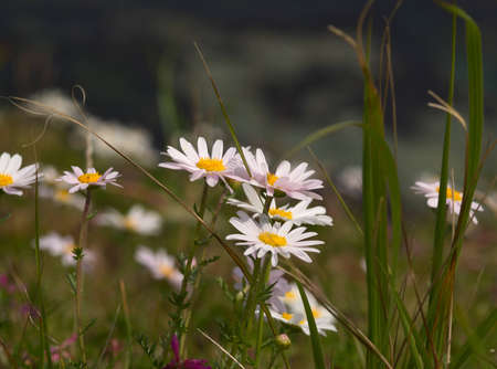 Group of white flowers of a camomile
