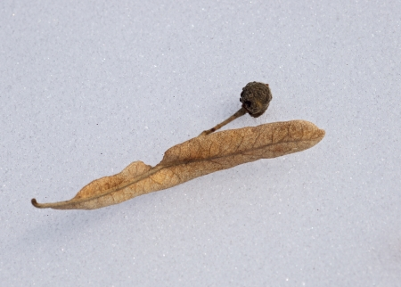The dried-up seed of a linden on white snow