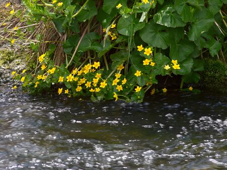 Plants with yellow flowers on the bank of a stream