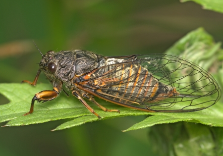 The insect a cicada sits on green plant