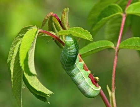 Big green caterpillar on a plant stalk