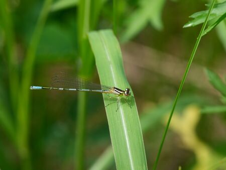 The large blue dragonfly sits on a grass Stock Photo