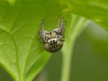 The shaggy spider sits on a green leaf