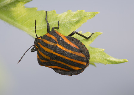 Large striped bug on a green grass