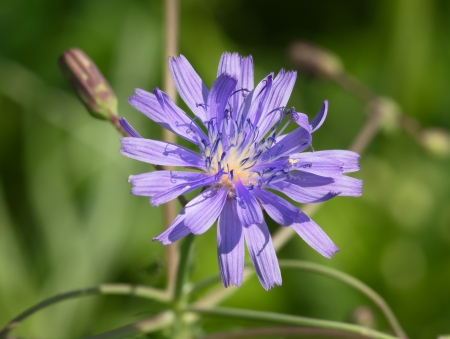 Chicory flower on a branch with buds