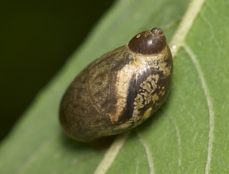 Motley brown snail on a green leaf