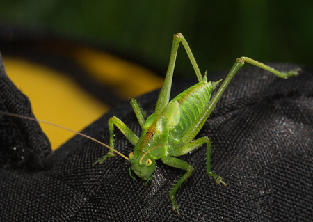 The green young grasshopper sits on dark fabric Stock Photo