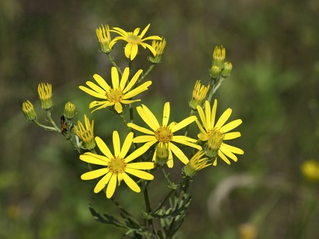 Yellow meadow flowers