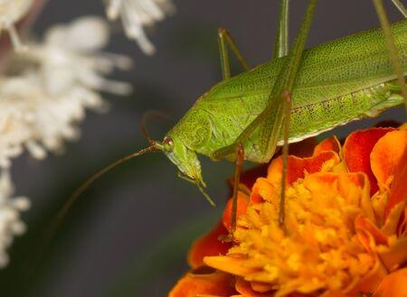 Green grasshopper on an orange flower