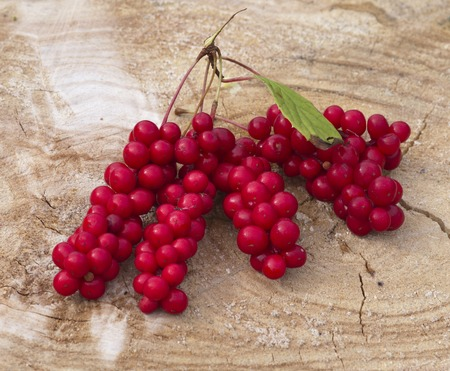 chinensis: Cluster of fruits of a magnolia vine Schisandra chinensis Stock Photo