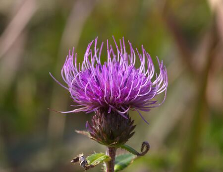 Pink meadow flower