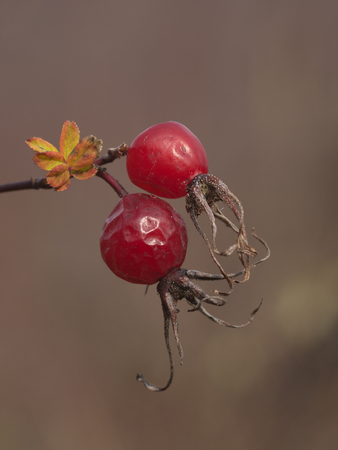 Two red berries of a dogrose Stock Photo