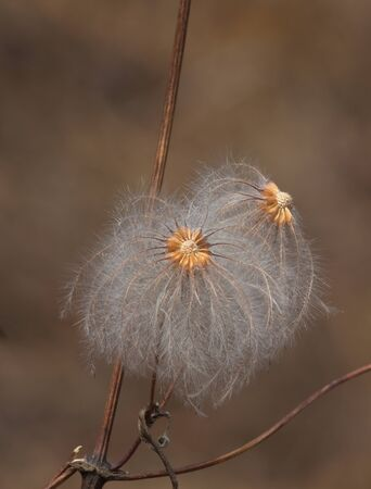 The autumn ripened fluffy seeds Stock Photo